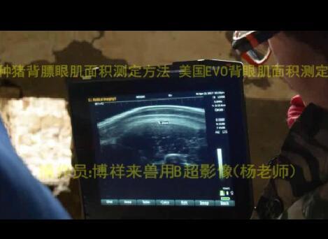 种猪背膘眼肌面积测EVO现场操作
