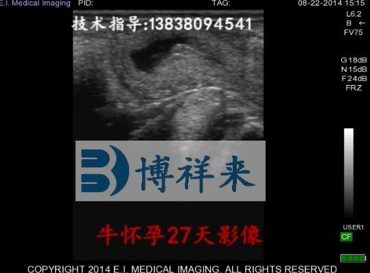 牛怀孕27天兽用B超影像