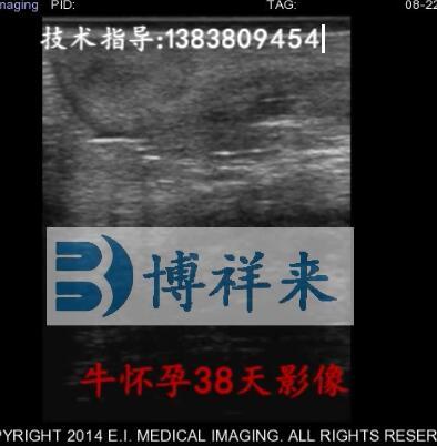 牛怀孕38图像天视频