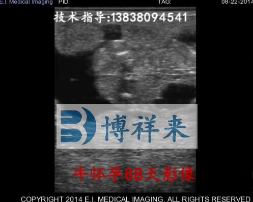 牛怀孕88天视频影像