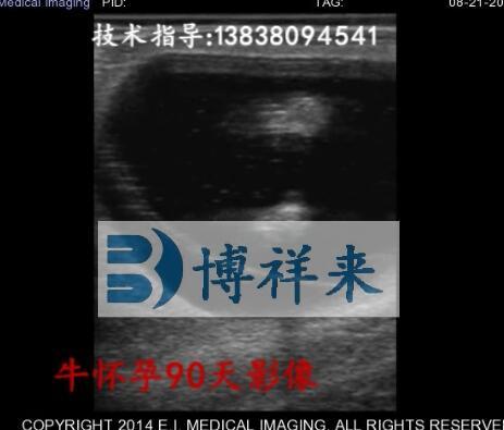 牛怀孕90天视频影像