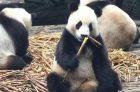 关于大熊猫怀孕的那些事