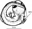 进口兽用B超机检测火蝾螈妊娠及产卵数量